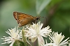 J16_1673 Essex Skipper